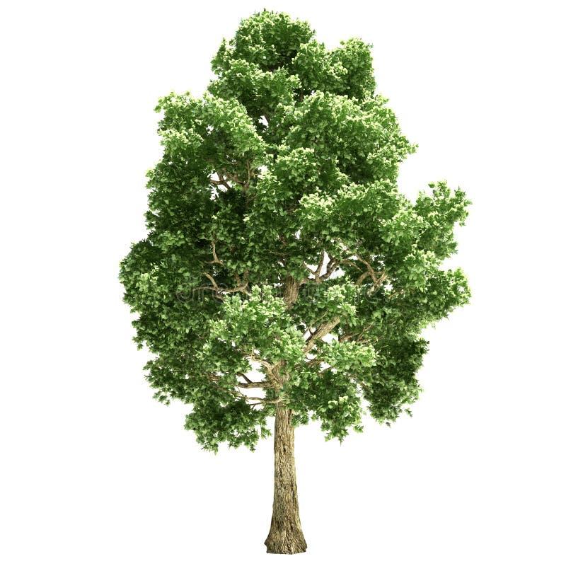 Topolowy drzewo Odizolowywający ilustracja wektor