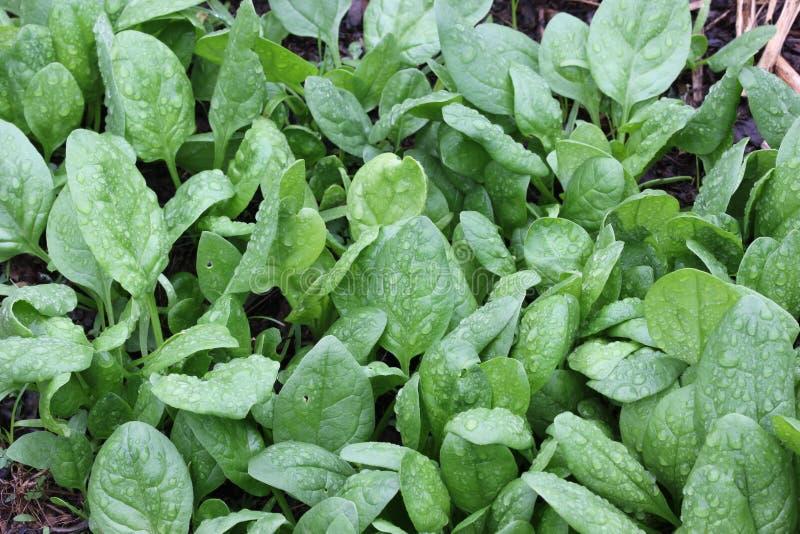 Toppa degli spinaci fotografia stock