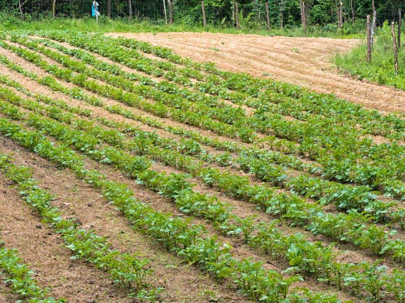 Toppa della patata, piccolo campo agricoltura immagine stock
