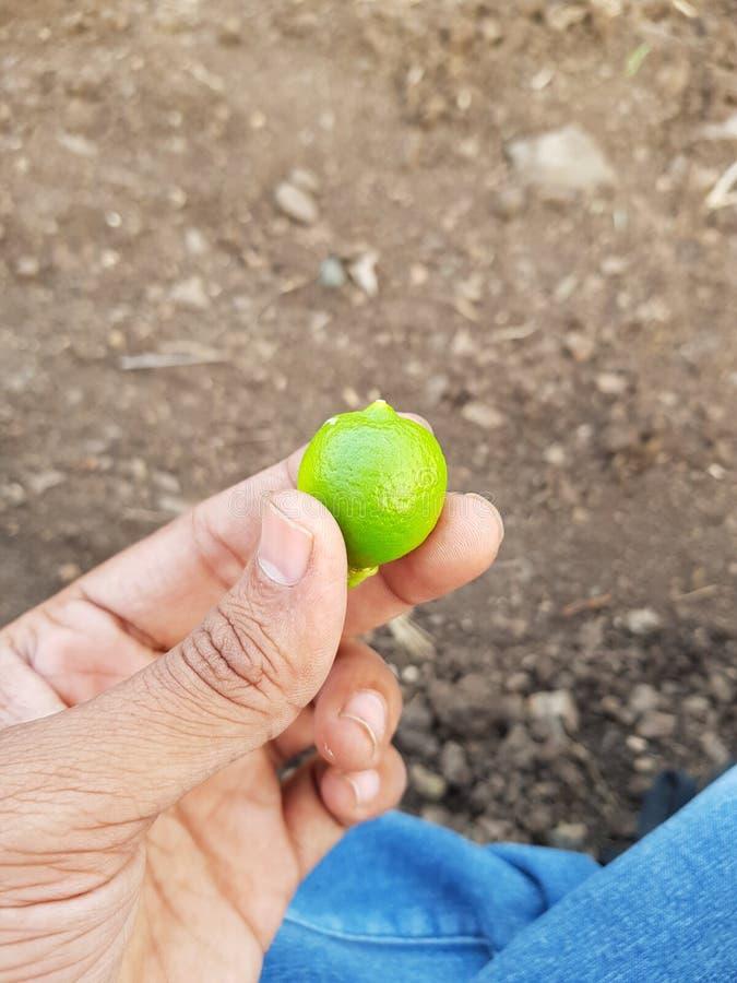 Toppen klickgräsplanlamon min lantgård royaltyfri foto
