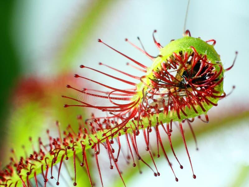 Toppen makro av den härliga sileshåret (droseraen) kryp catched av växten fotografering för bildbyråer