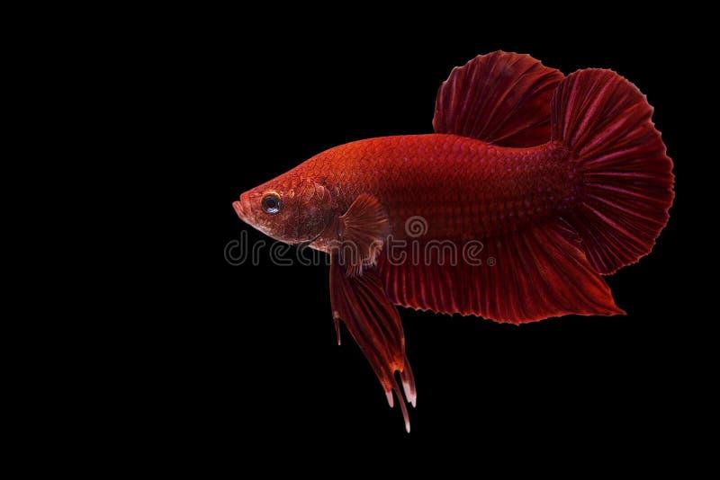 Toppen röd bettafisk siamese för stridighet för bakgrund svart isolerat fisk royaltyfria bilder
