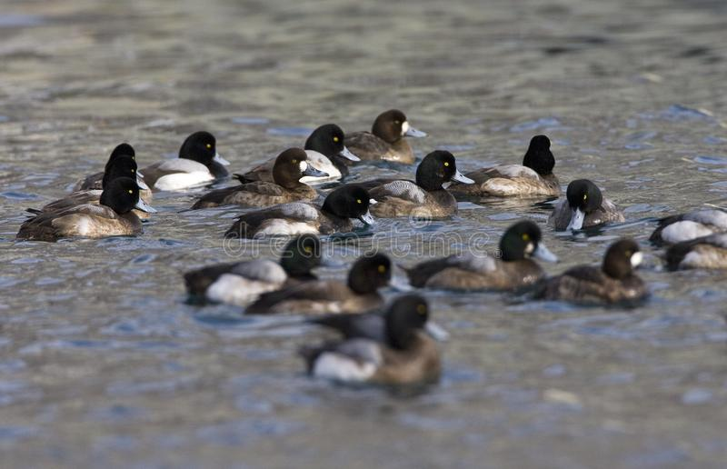 Topper, Greater scaup, Aythya marila. Groep zwemmende Toppereenden; Flock of swimming Greater Scaups royalty free stock photography