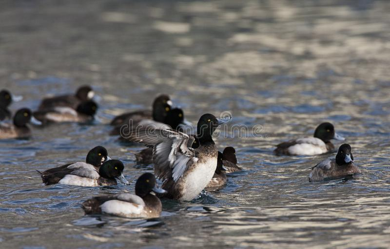 Topper, Greater scaup, Aythya marila. Groep zwemmende Toppereenden; Flock of swimming Greater Scaups stock photos