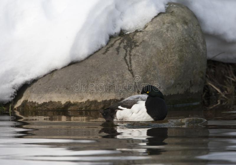 Topper, Greater scaup, Aythya marila. Slapende man Toppereend; Sleeping male Greater Scaup stock image
