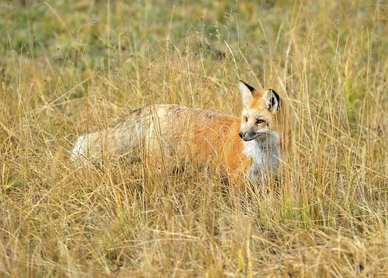 Toppig bergskedja nevada röd räv i gräs, yellowstone nationalpark, monta royaltyfria bilder