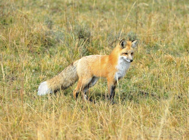 Toppig bergskedja nevada röd räv i gräs, yellowstone nationalpark, monta fotografering för bildbyråer
