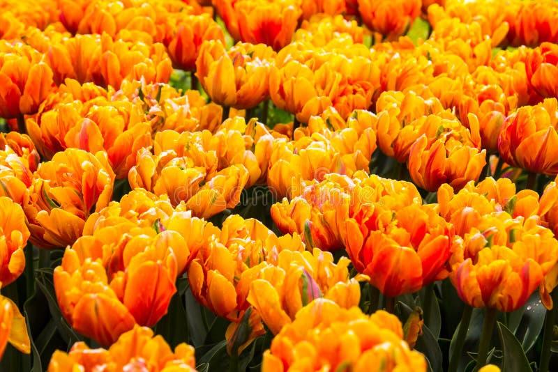 Toppna orange vårtulpan i en trädgård royaltyfri foto