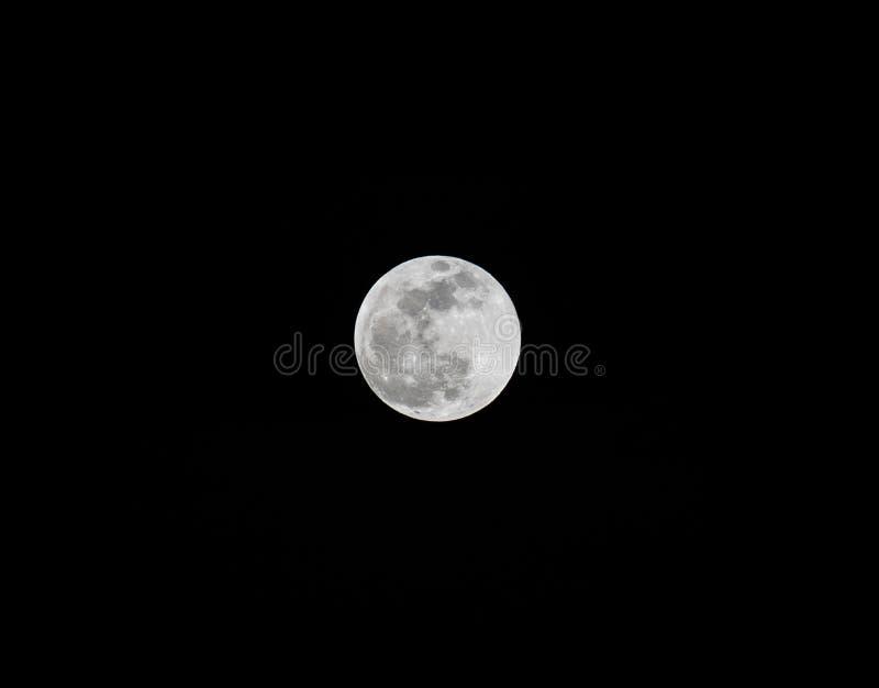 Toppna Wolf Blood Moon Pine, Colorado fotografering för bildbyråer