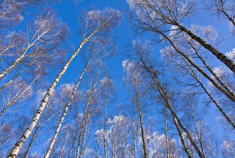 Download Tops Of Birches Royalty Free Stock Image - Image: 12147166