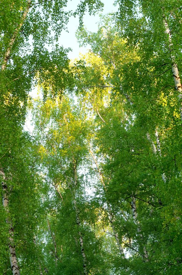 Tops of birches, green leaves. Bottom view royalty free stock photos
