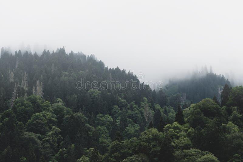 Tops de árboles verdes altos con el balanceo de la niebla densa en desierto enorme excesivo fotos de archivo libres de regalías