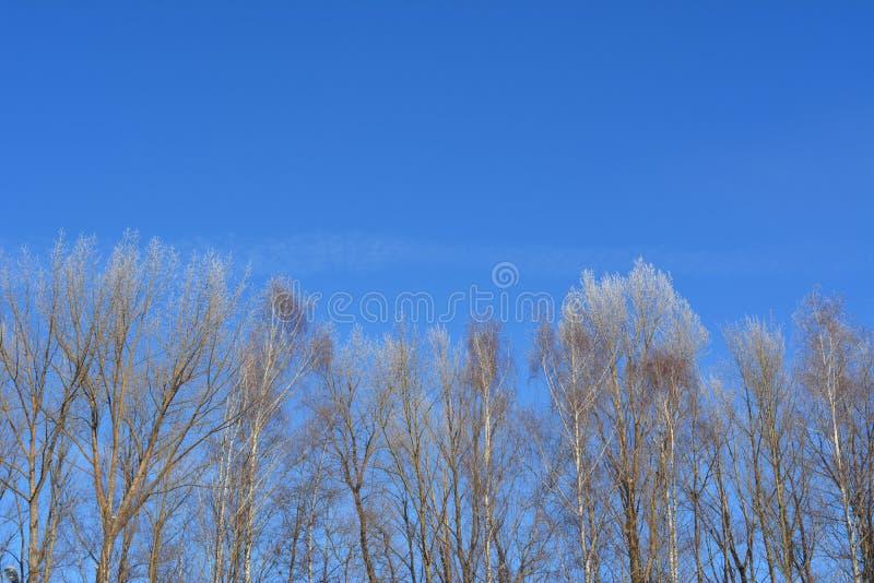 Tops de los árboles en escarcha en el fondo del cielo azul Escena del invierno con el espacio para el texto imagen de archivo