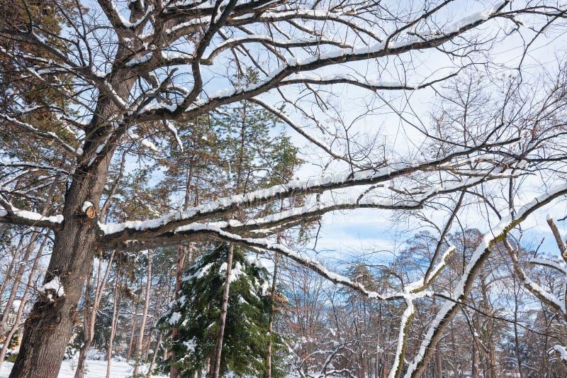 Tops del árbol con las ramas cubiertas con nieve en el parque en la estación del invierno con luz del sol fotografía de archivo libre de regalías