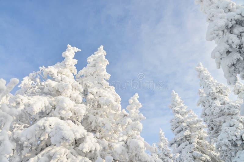 Tops del árbol de abeto cubiertos por la nieve blanca con el cielo nublado azul en el fondo, paisaje hermoso del invierno imagenes de archivo