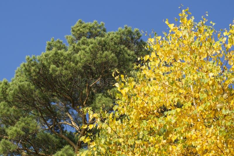 Tops del árbol en el parque en otoño contra el cielo azul foto de archivo libre de regalías