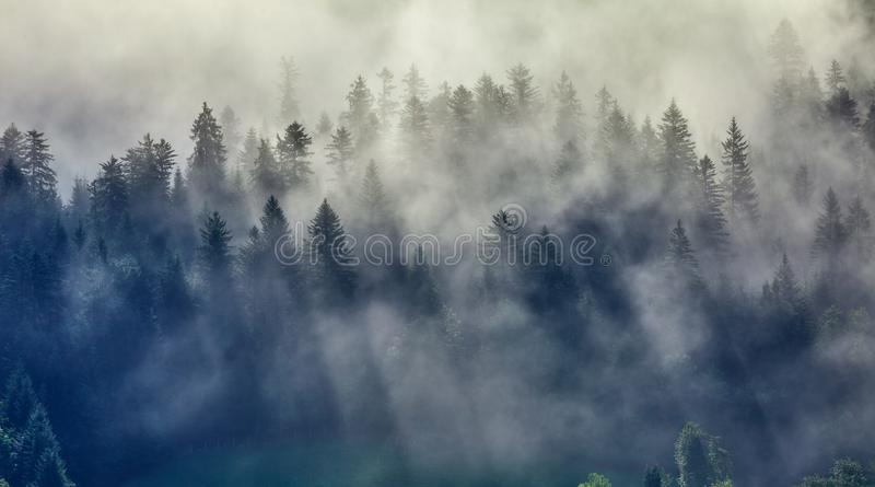 Tops fir trees in the forest mist. Tops fir trees in the forest in mist with sunbeams, rays of sunlight on sunrise royalty free stock images