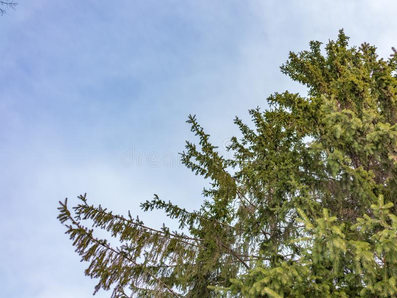 The tops of the fir trees on a slightly cloudy winter day against the blue sky royalty free stock images
