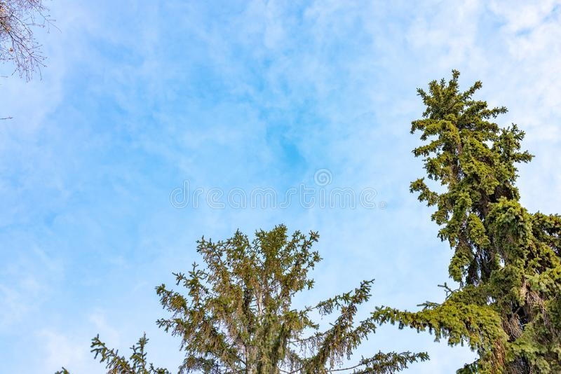 The tops of the fir trees on a slightly cloudy winter day against the blue sky stock images