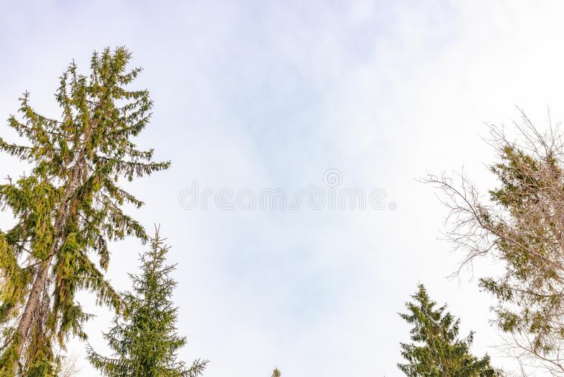 The tops of the fir trees on a slightly cloudy winter day against the blue sky stock photos