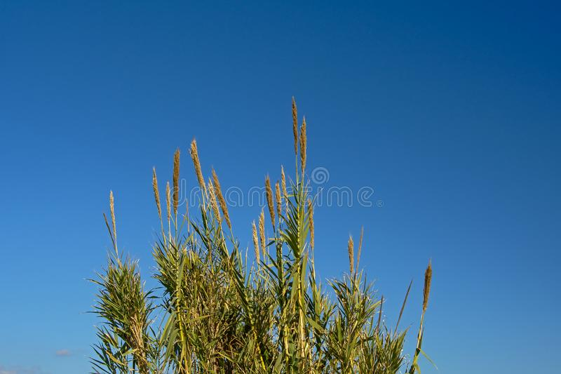 Tops of giant reed canes in Guadalhorce river estuary stock image