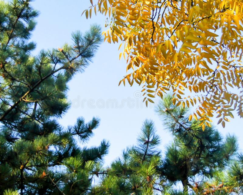 Tops of pines and yellow leaves of autumn trees with the sky in. Tops of pines and yellow leaves of autumn trees with the blue color of sky in the background royalty free stock photography