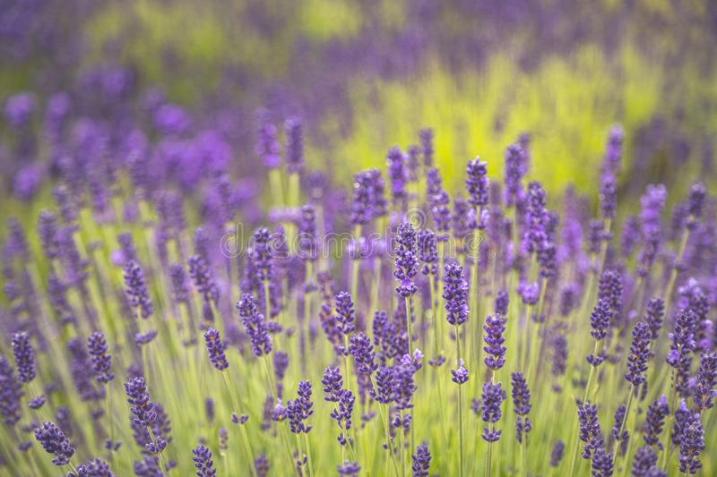 Blooming lavender fields in Pacific Northwest USA. Tops of purple lavender plants blooming in the sun royalty free stock image
