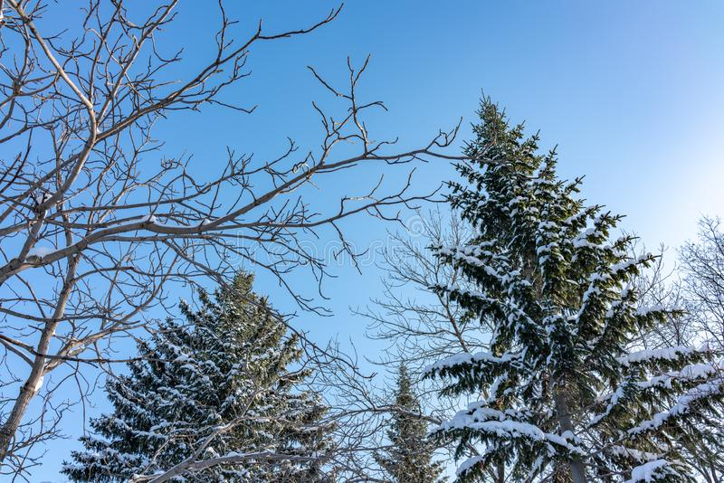 Tops of spruce trees covered with fresh snow on a clear winter day against a blue sky stock photos