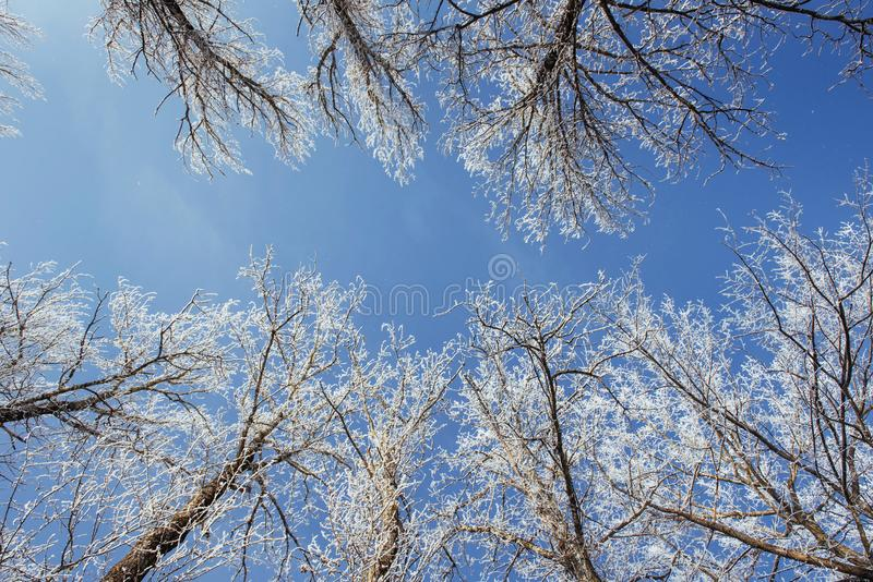 The tops of the trees in the snow. Frozen snow on trees. Frozen trees on a background of blue cloudy sky stock image