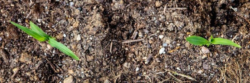 Topview, ростки sweetcorn растя вверх, развитие zea маев стоковые фото