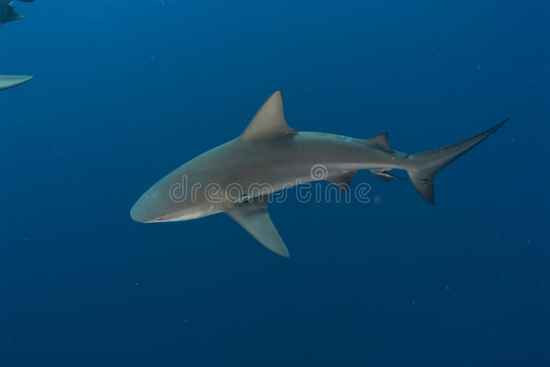 Download Topview of a bull shark stock photo. Image of shark, sharks - 21741620