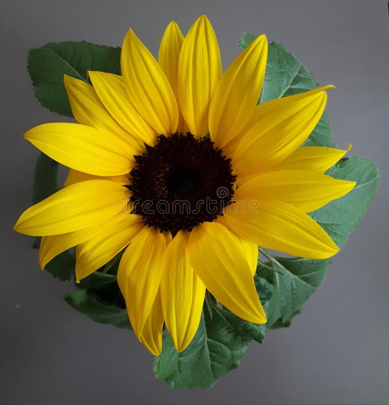 Topview closeup of a sunflower on a grey table stock photos