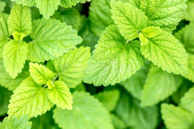 Topview, hojas verdes frescas del bálsamo, officinalis de Melissa para la homeopatía o remedio natural fotografía de archivo libre de regalías