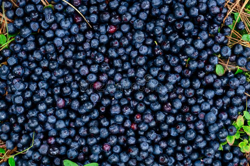 Topview of organic bilberries, fruity blue background. Topview of organic bilberries, fruity blue stock images