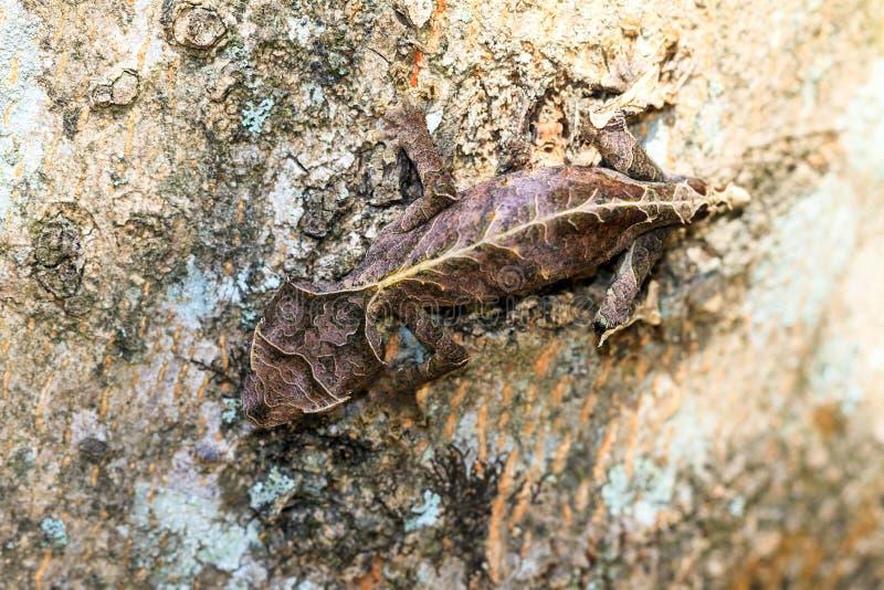Topview phantasticus Uroplatus стоковая фотография rf