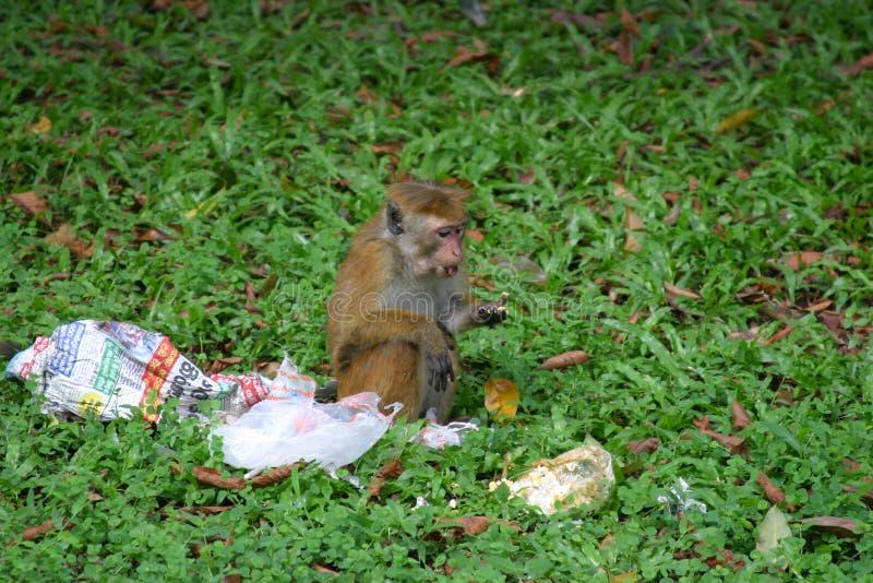 Toque Macaque Stock Foto's