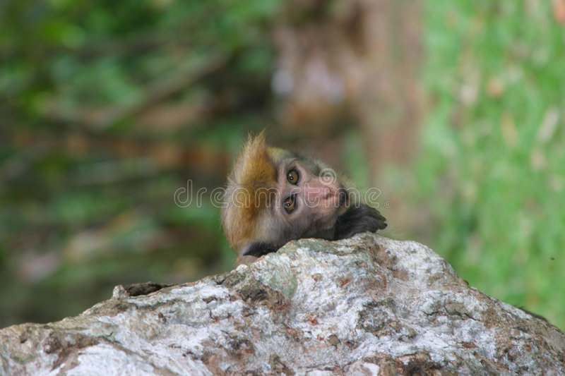 Toque macaque royalty free stock photo