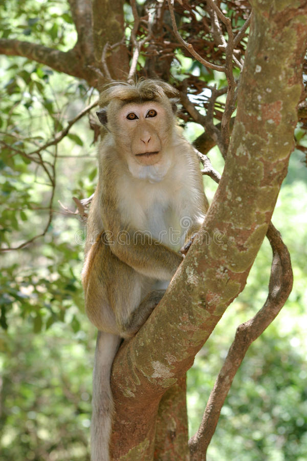 Toque Macaque stock photo