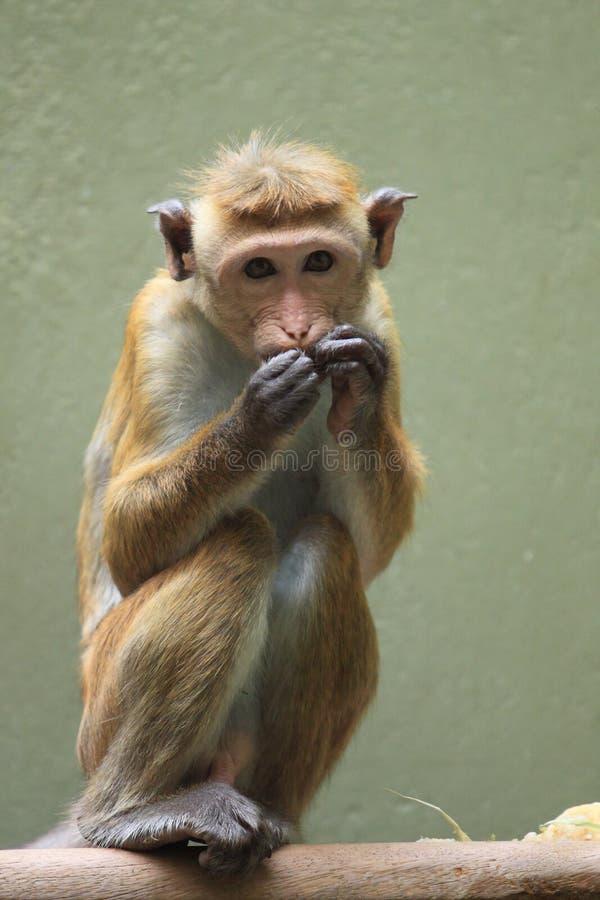 Toque macaque royalty free stock photos