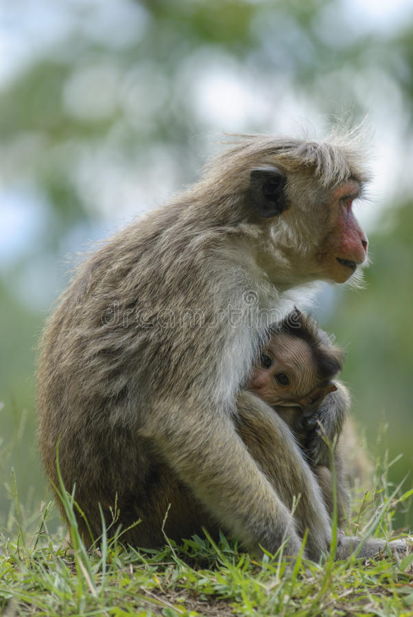 Toque macaque - a female with a cub. stock photography