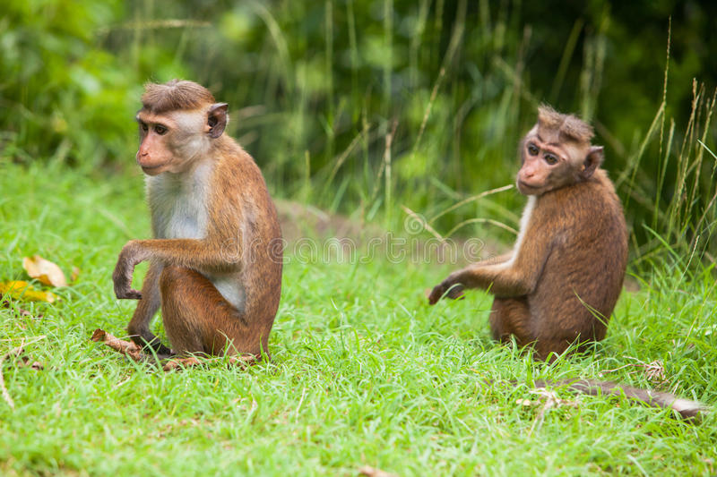 Toque macaque monkey stock images