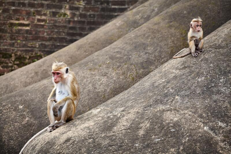 Toque Macaque mother and baby on a rock royalty free stock photo