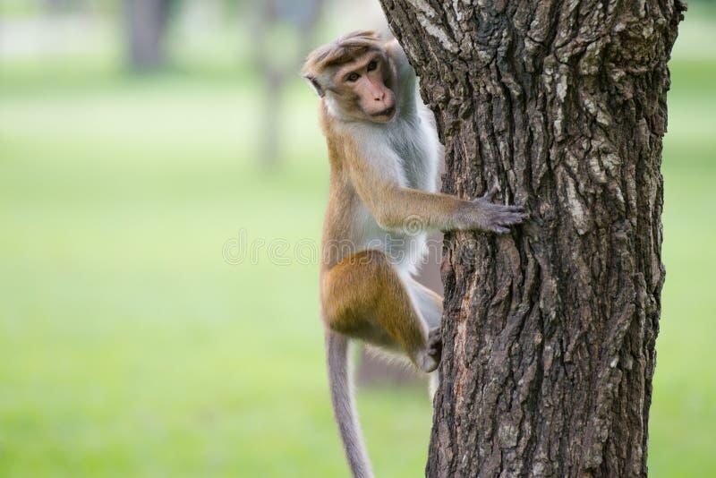 Toquemakakenaffe, der einen Baum im natürlichen Lebensraum in Sri klettert lizenzfreies stockbild