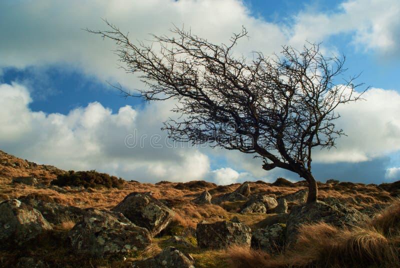 Tor Windswept Dartmoor Devon di Belstone dell'albero fotografia stock libera da diritti