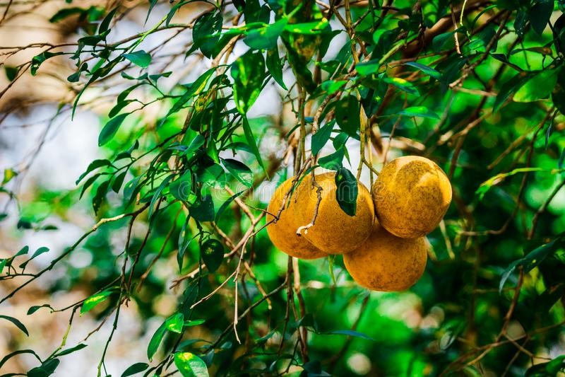 Toranja branca em uma árvore foto de stock
