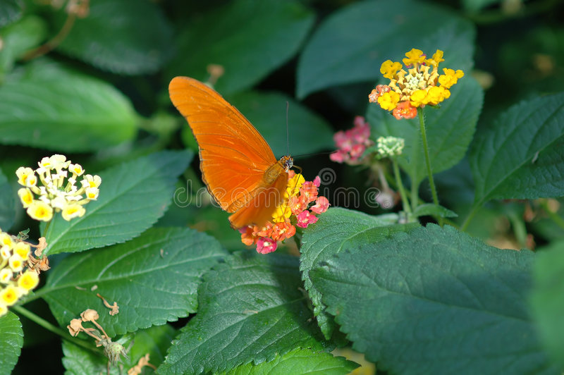 Torch (dryas julia) on yellow and pink flower royalty free stock photo