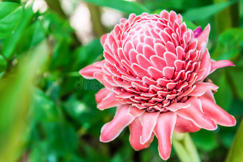 Torch ginger. Against lush tropical growth stock photos
