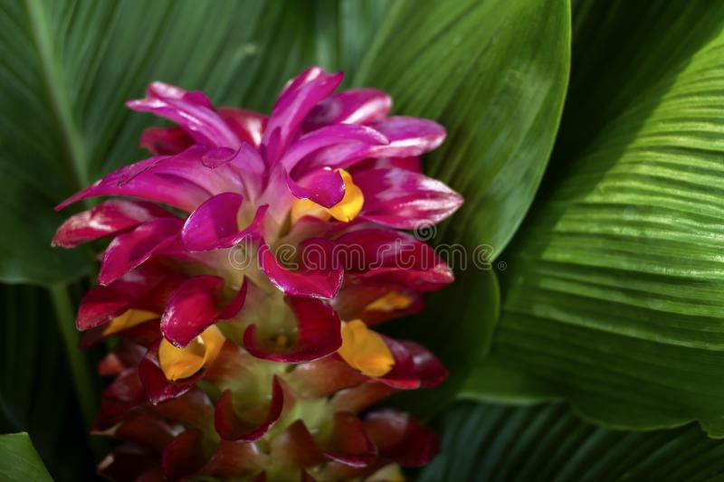 Torch ginger red flower Alpinia purpurata with on green leaves stock photo