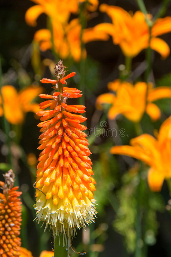 Torch lily flower. Torch lily with orange lily flower in the backgrounde stock photography