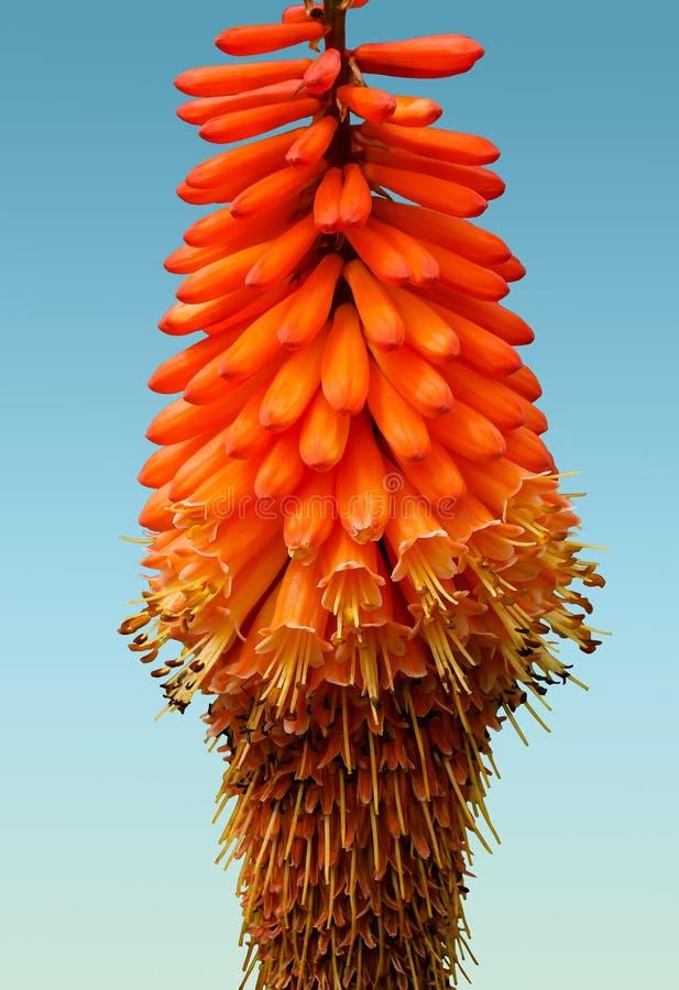 Torch Lily, Orange, Flower, Flora royalty free stock photos